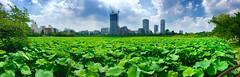 蓮池 (hamapenguin) Tags: apple iphone panorama japan tokyo ueno pond lotus 東京 上野 不忍池 蓮 ハス パノラマ