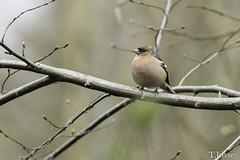 20180330_Vincennes_Pinson des arbres (thadeus72) Tags: aves birds commonchaffinch fringillacoelebs fringillidae fringillidés oiseaux passériformes pinsondesarbres