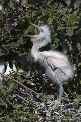Jaw Stretch (pandatub) Tags: bird birds egret snowyegret chick lakeshorepark
