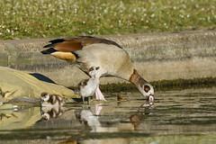 Walk like an Egyptian (J. E. Foster) Tags: alopochenaegyptiacus britain camden egyptiangoose england london nikond7100 regentspark sigma150600mmf563dgoshsm uk westminster animal bird goslings nature wildlife