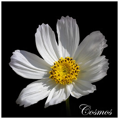 Surprise Cosmos (FocusPocus Photography) Tags: cosmos blume blüte flower sommer summer