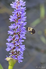 Bumble Bee (TomLamb47) Tags: nature bumble bee flower pickerel weed preserve wetlands fruitland park florida pf canon 1d4 100400mm