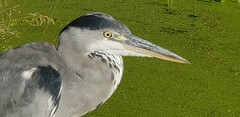 20180717_073953 (The Unofficial Photographer (CFB)) Tags: ron heron bestofthebest greychestedheron greyheron featheredfriends