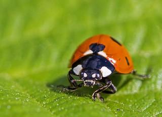 Ladybird with the BIG eyes