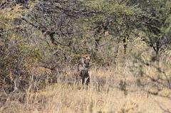 DSC_3407 (Andrew Nakamura) Tags: namibia otjiwarongo projectdragonfly earthexpeditions waterbergconservancy cheetahconservationfund animal wildlife mammal felid felidae bigcat cheetah