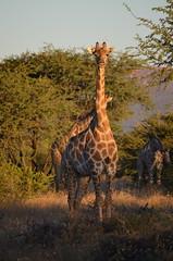 DSC_3518 (Andrew Nakamura) Tags: namibia otjiwarongo projectdragonfly earthexpeditions waterbergconservancy cheetahconservationfund animal wildlife giraffe giraffidae mammal ungulate gamecount