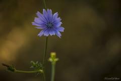 Chicory (eskstreetph) Tags: canon eos550d chicory flower bokeh light nature beginner ksenia kseniaeskstreet composition comp green yellow blue lillac lilla