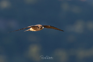 Peregrine Falcon - Falco peregrinus | 2018 - 3
