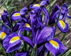 Iris flowers alert! 😊 (LeanneHall3 :-)) Tags: purple yellow iris flowers petals flowersarefabulous flowerarebeautiful flowerflowerflower macroflowerlovers macrounlimited closeup closeupphotography macro macrophotography canon 1300d