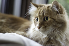 Clem Thursday: Reluctant Pose (Photo Amy) Tags: adorable aminal canon50d cat cuddly cute cuteness ef50mm18 eartufts feline fluffy fur furry ginger kitten longhair longhaired orange pet precious red tabby toefur whisker whiskers