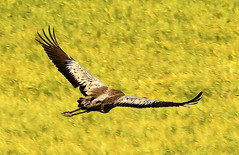 """Flying Like chicken without head"" (irio.jyske) Tags: naturephotograph naturepic naturepictures naturescape naturephoto nice nature naturephotos naturephotographer naturepics natural photographer photograph photos pics summer field grainfield fly gliding colors animal crane birdphotograph birdphotographer birdphoto birdpics bird wings beauty"