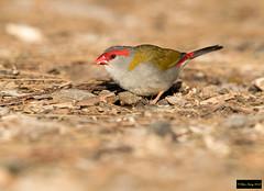 Red-browed Finch (Neochmia temporalis temporalis) (Dave 2x) Tags: neochmiatemporalistemporalis neochmiatemporalis neochmia redbrowedfinch redbrowed finch mountannan botanic gardens nsw australia leastconcern