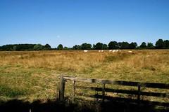 Fence (Wim Ederveen) Tags: field cows fence heathland heide koeien hekwerk drenthe