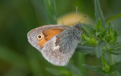 Fluffy (music_man800) Tags: coenonympha pamphilus small heath butterfly butterflies insect insects lepidoptera wildlife animals nature natural flora fauna life underwing roost resting underside sharp fluffy green benfleet downs reserve hadleigh country park uk united kingdom essex south beautiful pretty light outdoors outside canon 700d adobe lightroom creative cloud edit photography macro sigma 150mm lens prime happy downland meadow papeur