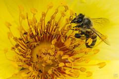 Bee In Yellow (lycheng99) Tags: berkeleyrosegarden rosegarden rose macro macrophotography bee insect wildlife wild animal flower anther filament stamen pollen