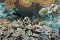 Phyllidia varicosa. Варикозная филлидия (atardecer2018) Tags: бали дайвинг 2017 голожаберники diving scubadiving underwater nudibranch bali