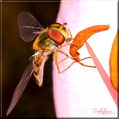 Hoverfly on Lily (Box Brownie Brian) Tags: hoverfly insect fly bug bee anther filament stamen pollen petal lily