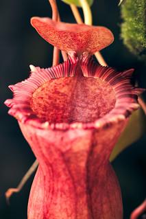 Nepenthes ventricosa--squat x [ventricosa x (lowii x ventricosa)] at Native Exotics nursery.
