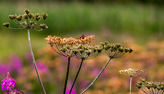 Kinneil Lagoons 24 July 2018 00024.jpg (JamesPDeans.co.uk) Tags: kinneillagoon forthemanwhohaseverything plants gb printsforsale westlothian unitedkingdom parsley scotland britain nature jamespdeansphotography wwwjamespdeanscouk landscapeforwalls boness greatbritain lothian europe uk digitaldownloadsforlicence