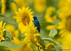 071518142430asmweb (ecwillet) Tags: sunflower indigobunting bunting nikon nikond800e nikon500mmf4 ecwillet ericwillet