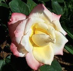 L. Casta (Marvinette) Tags: rose roses roseraie rosier yellow yellowrose lcastarose macro flore fleur fleurs flower flowers france limousin hautevienne nature summer été garden jardin aimezvouslesfleurs androïd smartphone