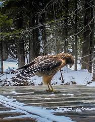 Red Shouldered Hawk . . . (Dr. Farnsworth) Tags: bird raptor hawk redshoulderedhawk dock tail stripes tint reddish legs shoulder trailcam fernridge mi michigan spring april2018