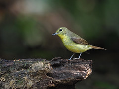 Green-backed Flycatcher (ChongBT) Tags: nature natural wild life wildlife animal bird avian ornithology birdwatching watching adult female malaysia ficedulaelisae ficedula elisae hobby
