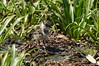 Vanellus vanellus - Lapwing - Птенец чибиса (Marina-PMV) Tags: птицы nature bird чибис lapwing vanellusvanellus