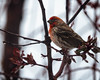House Finch on a Cloudy Day (droy0521) Tags: spring wildlife tree backyardphotography bird colorado outdoors water wet finch places branch