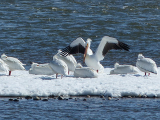 American White Pelicans with my old Panasonic FZ200