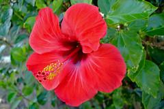 Hibiscus 1 (Uhlenhorst) Tags: 2017 australia australien plants pflanzen flowers blumen blossoms blüten travel reisen