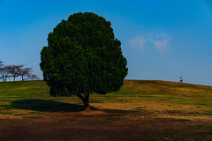 Alone tree (MongkolChuewong) Tags: alone asia asian background blue country female field fresh girl grass green healing hill incline korea korean landscape lonely low mountain natural nature olympic one only outdoor park people plant relax rural seoul silence single sky slope south southkorea spring standing style summer sunny tourist travel traveler tree view woman