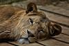 DSCF1715.jpg (uwe_b_aus_r) Tags: zoo löwe raubtier katzen