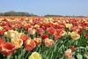 DSC04601 (derek_2001) Tags: tulips noordwijk holland bollenveld field