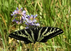 Pale Swallowtail that's lost it's swallow tails. (Ruby 2417) Tags: pale swallowtail meadow butterfly insect wildlife nature tahoe sierra