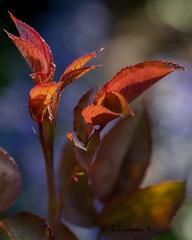 Leaves in our Garden (Bruce Livingston) Tags: closeup ourgarden asbury nj newjersey warrencounty fujimacroxf80mmf28 fujifilmxpro2