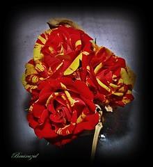 Roja y gualda.... (bruixazul poc a poc...) Tags: rosas ramificada macro flor roja amarilla rojigualda prismadecolores