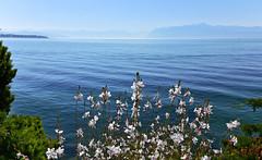 Gaura blanc - rosé de Lindheimer (Diegojack) Tags: morges vaud suisse paysages d7200 quai léman fleurs gaura rose blanc