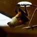 Ryukyu Flying Fox (Pteropus dasymallus) of Ueno Zoo, Tokyo : オリイオオコウモリ(上野動物園)