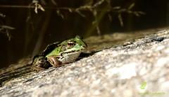 Au bord de l'étang. (pm100%nature19) Tags: grenouille 19 limousin corrèze batracien