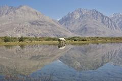 Nubra Valley (brantliveson) Tags: sony travel adventure explore horse ferrel wild valley nubra india kashmir reflection river lake beauty