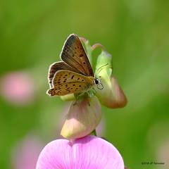 Papillon (jpto_55) Tags: papillon proxi bokeh xe1 fuji fujifilm fujixf55200mmf3548rlmois hautegaronne france flickrunitedaward