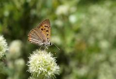 Lycaena phlaeas (J Carrasco (mundele)) Tags: mariposas villuercas extremadura insectos rhopalocera navatrasierra lycaenidae lycaena
