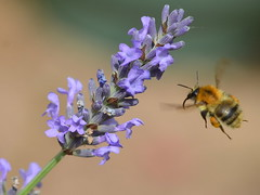 Lavender Time (Doolallyally) Tags: lavender bee devon england