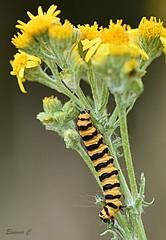 The Concertina Effect (Eleanor (No multiple invites please)) Tags: caterpillar cinnabarcaterpllar plant ragwort yellowflowers bentleypriory stanmore uk nikond7200 105mmmacro july2018