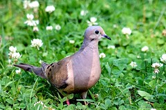 Mourning Dove and White Clover (Anne Ahearne) Tags: wild bird animal nature wildlife songbird birdwatching dove mourningdove whiteclover