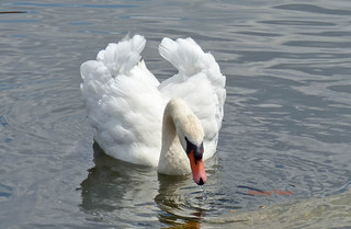 Beautiful Swan on the River Exe