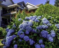 Around the corner (Tony Tomlin) Tags: whiterockbc britishcolumbia canada southsurrey flowers hydrangea