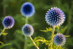 18-07-15 nah blü lil allium bok sonauf dsc09954-1 (ulrich kracke (many thanks for more than 1 Mill vi) Tags: bokeh kogelblau nah sh1 sidelit sonnenaufgang universum