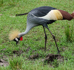 African Crowned Crane (strat-driver) Tags: plume plumage crowned crane crownedcrane